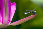 web_dragonfly_pink