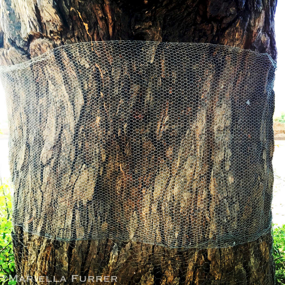 Wire mesh protects a tree at Elephant Watch Camp from elephants.