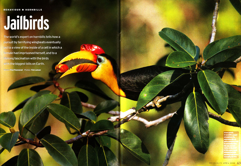 -- In this feature story, Tim's photographs illustrate an article about hornbill research and conservation by Thailand's leading hornbill researcher, Dr. Pilai Poonswad.