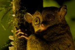 A western tarsier (Tarsius bancanus) clings to a tree at night.