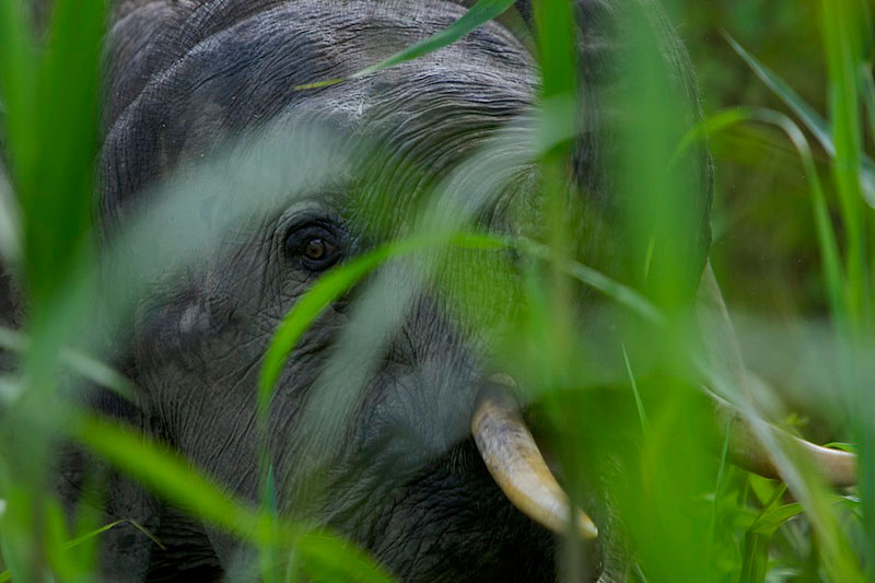 Young male Borneo Pygmy Elephant peers at the photographer through tall grass.
