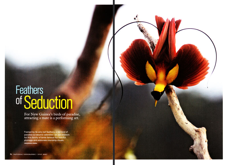 -- Thirteen species of the remarkable Birds of Paradise are featured in this article photographed in Papua New Guinea and Indonesia.-- See the Birds of Paradise gallery in the PHOTO GALLERIES menu.-- The National Geographic web site also features Tim's Field Notes and an Interactive Map with links to Bird of Paradise videos by Edwin Scholes.  Check it out.-- To learn more about Birds of Paradise, see ornithologist Edwin Scholes' web site www.thebirdsofparadise.org.