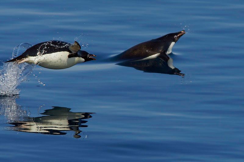 Porpoising Adelie Penguins (Pygosecelis adeliae).