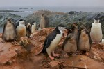 Chinstrap Penguin families (Pygoscelis antarctica).