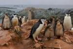 Chinstrap Penguin families (Pygoscelis antarctica).