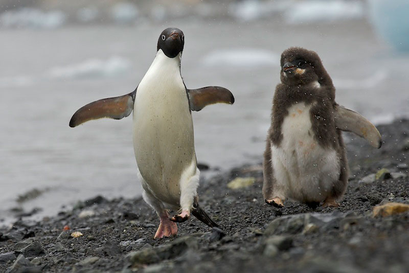 Adelie Penguin (Pygoscelis adeliae) on the beach in the middle of a feeding chase - moulting chick chasing parent to get fed.