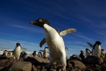 Adelie Penguin (Pygoscelis adeliae) breeding colony.