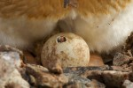 Gentoo Penguin (Pygoscelis papua) chick about to hatch egg that has a small opeing made by the chick.