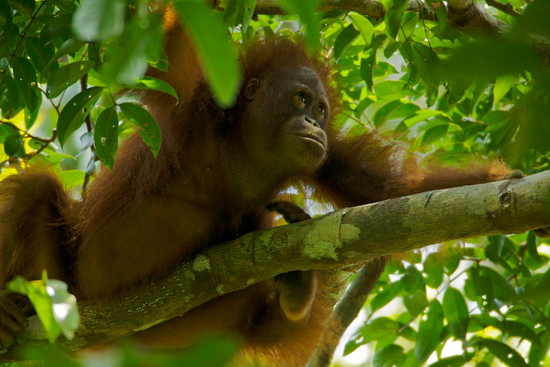 Young adult female Bornean Orangutan (Pongo pygmaeus).