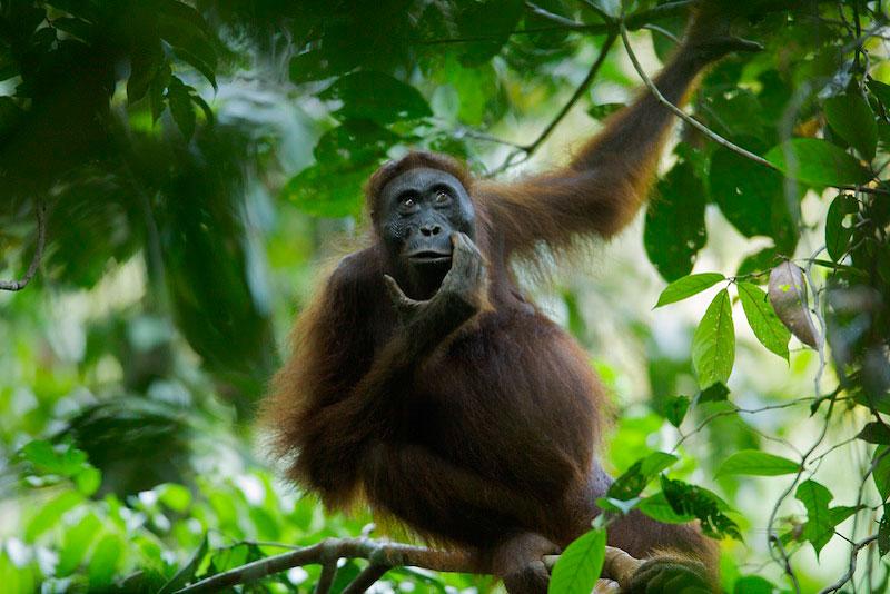 An adult female Bornean Orangutan (Pongo Pygmaeus).
