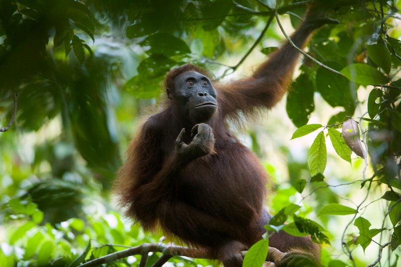 Adult female Bornean Orangutan
