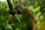 Adult female Bornean Orangutan (Pongo pygmaeus).