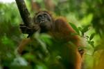 Adult female Bornean Orangutan (Pongo pygmaeus).