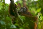 Adult female Bornean Orangutan (Pongo pygmaeus)