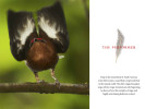 --  This article describes the way a clubed-winged manakin uses his wings to sing instead of his voice.--  View Tim's pictures at Nat Geo.
