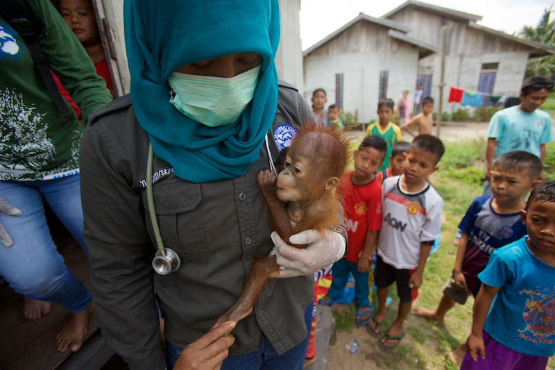 Winner of the Nature Stories Category at World Press Photo 2016.{quote}Rescue{quote} of a five month old male baby orangutan from captivity in Sungai Besar village by the BKSDA (Department of Wildlife and Nature Conservation) staff and wildlife veteranarian Dr. Ayu from International Animal Rescue.