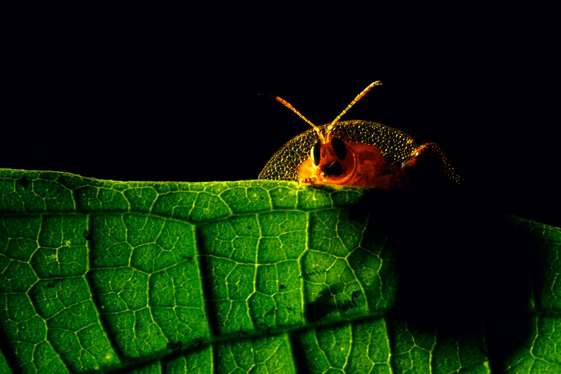 A helmet bettle peers over the edge of a leaf.