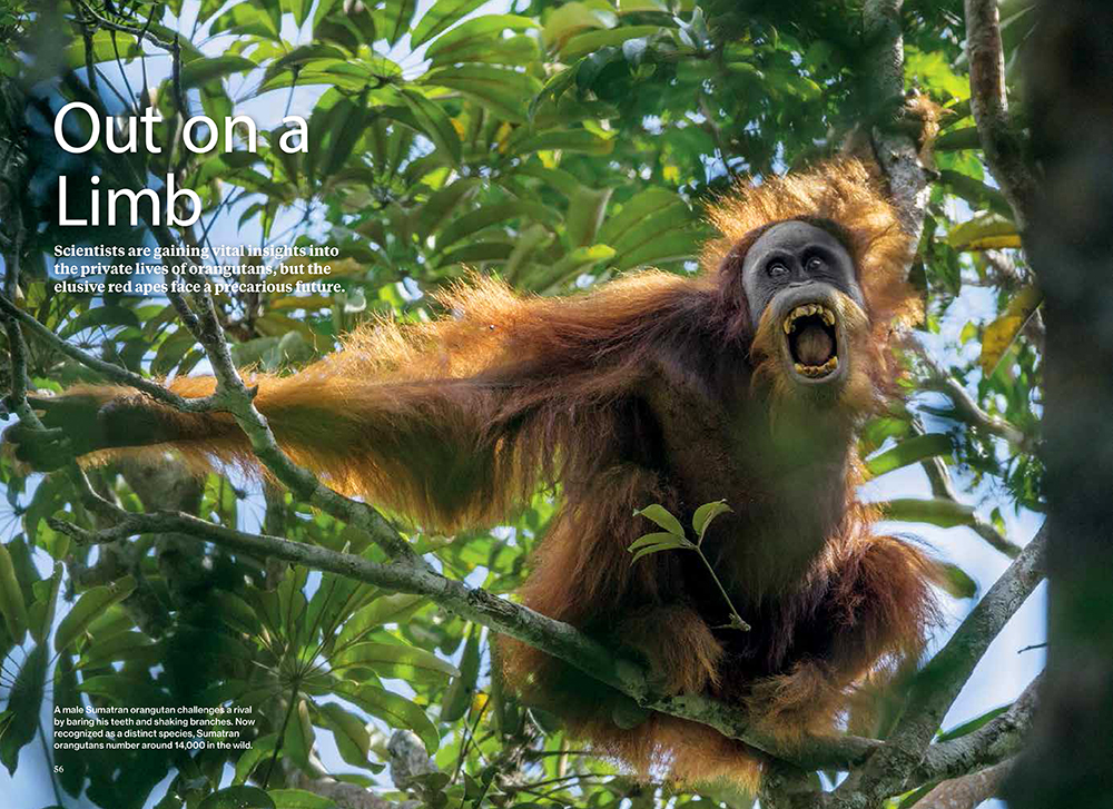 -- This is Tim's second NG article on orangutans.  Visit the NGM website to read the article and watch orangutan videos.  Inside the Private Lives of Orangutans.