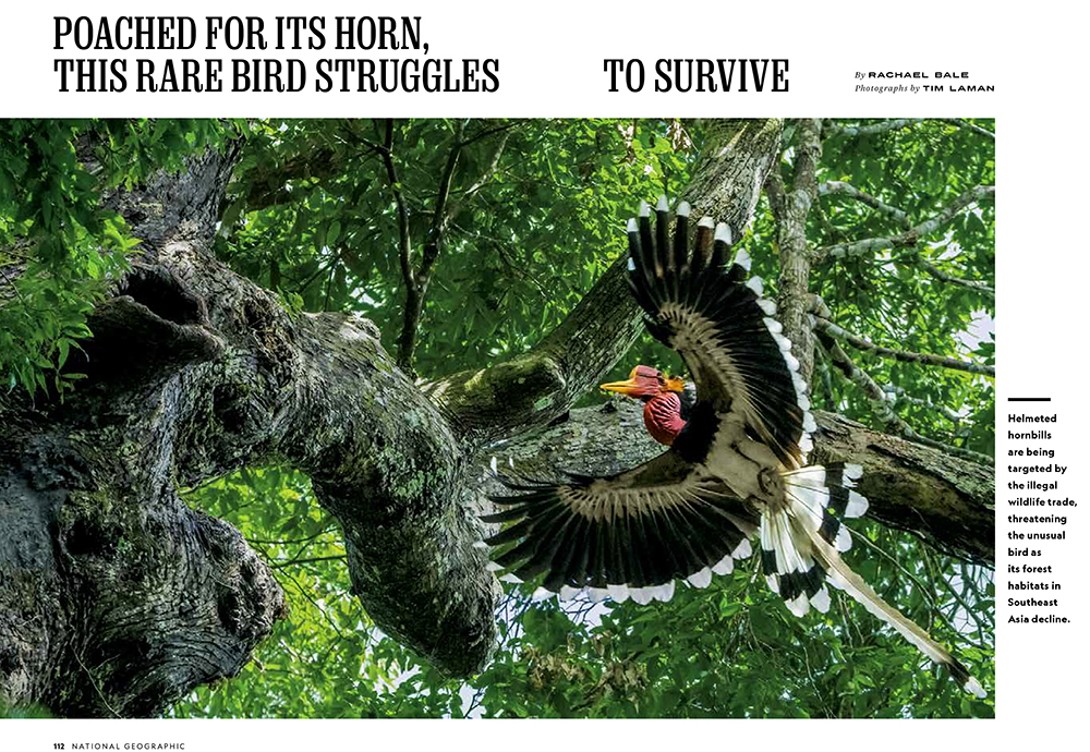 -- If you subscribe to National Geograhpic you can see Tim's article on Helmeted Hornbills in the September 2018 issue:  Poached For Its Horn, This Rare Bird Struggles To Survive.