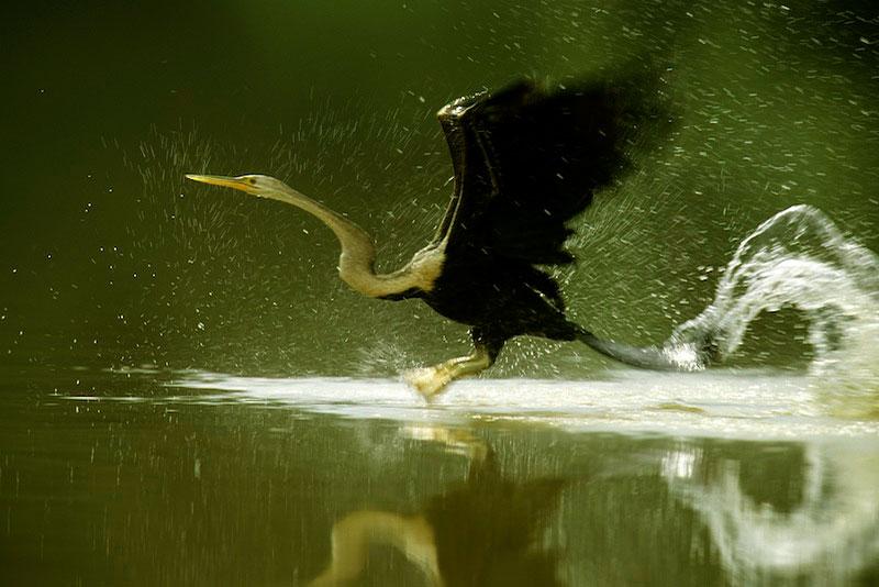 Anhinga or Snake Bird (Anhinga melanogaster) bursting from the water to take off.