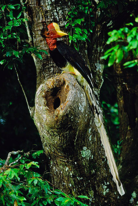 A male helmeted hornbill (Rhinoplax vigil) perched above the entrance to the nest cavity where his mate is sealed inside.