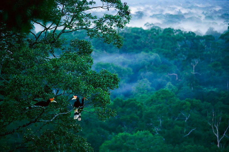 Rhinoceros hornbills (Buceros rhinoceros) perched high in the canopy of lowland rain forest.2002 Wildlife Photographer of the Year :  Highly commended - Wild Places