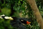 Rhinoceros hornbill (Buceros rhinoceros) in flight though the rainforest of Borneo.