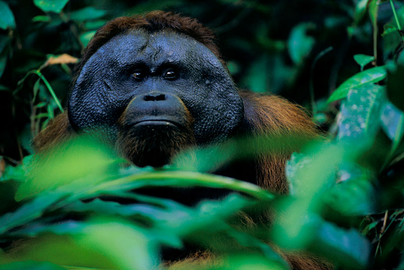 A wild adult male Bornean Orangutan keeps an eye on a female while feeding in a patch of wild gingers.
