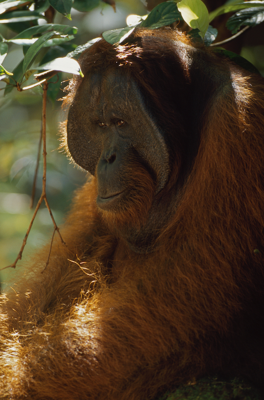 Adult male orangutan (Pongo pygmaeus) named Jari Manis.
