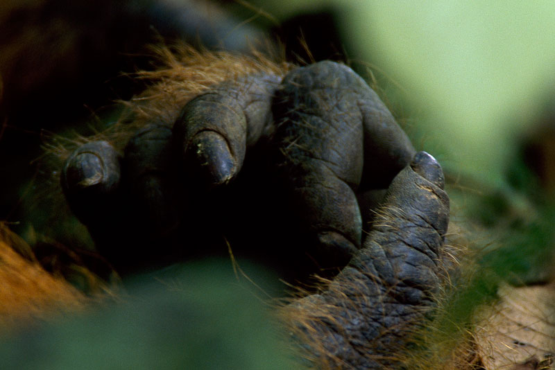 Close view of the hand of a wild adult male Bornean Orangutan.