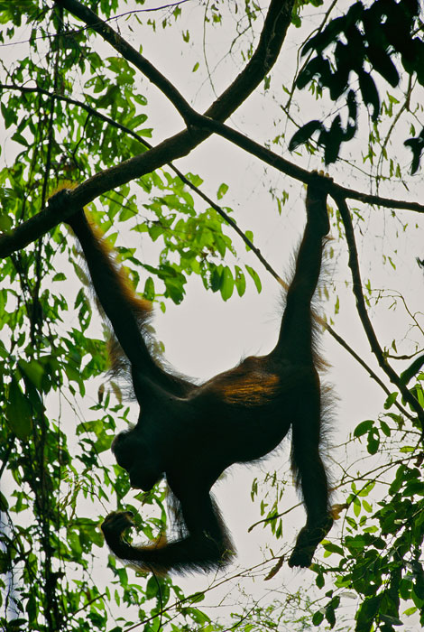 A wild female Bornean Orangutan hanging from lianas.