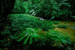 Rain forest interior view with Licuala palm along a stream.