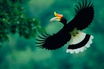 A rhinoceros hornbill (Buceros rhinoceros) male carrying a mouse to his nest.