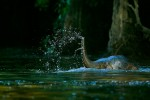 A young Borneo Pygmy Elephant swims across a river.