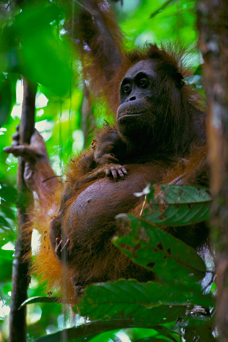 A wild female Bornean Orangutan with her newborn infant.