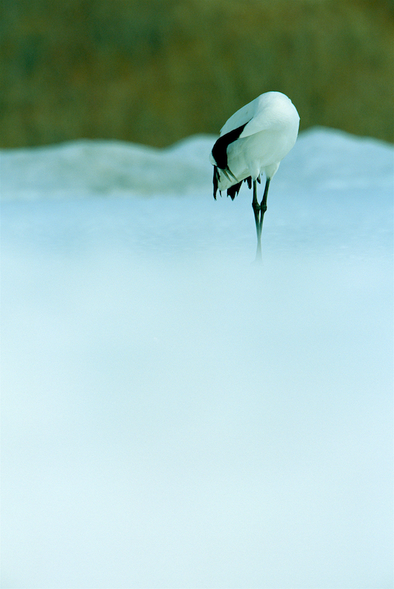 A Japanese, or red-crowned, crane preens its feathers.