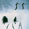 Red-crowned Crane pair in  a snowstorm, Hokkaido, JapanEndangered Species (IUCN Red List: EN)