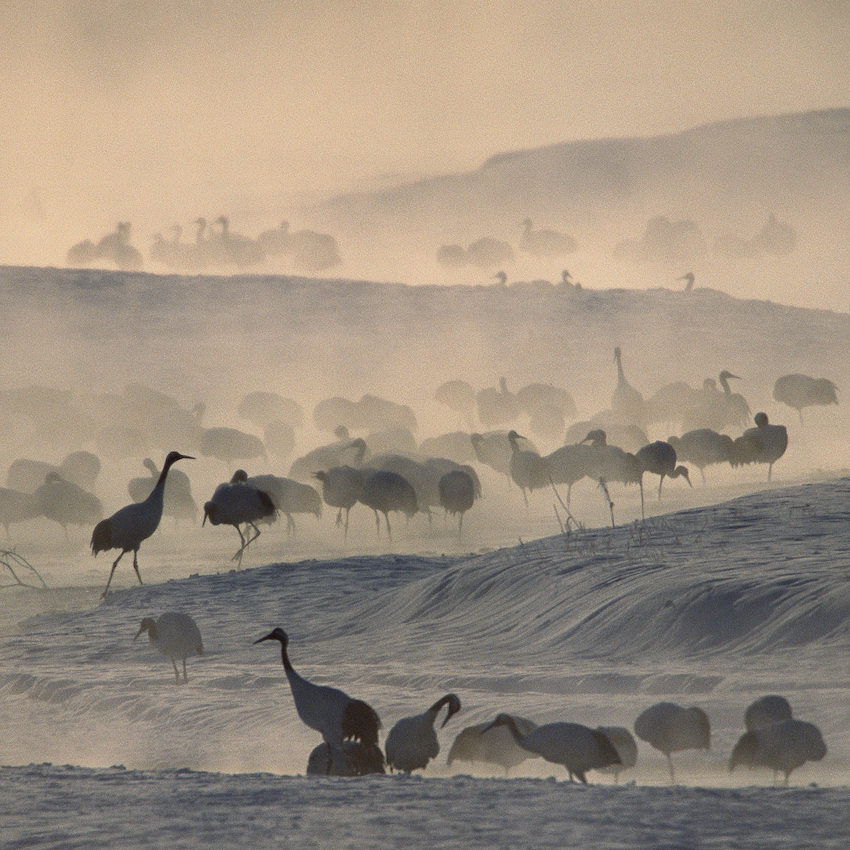 Japanese or red-crowned cranes in standing in morning mist.