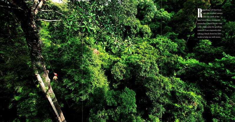 -- Opening gatefold - Borneo's Strangler Fig Trees story