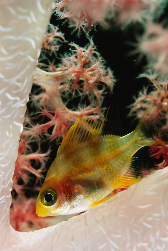 A juvenile golden damselfish sleeping in a soft coral.