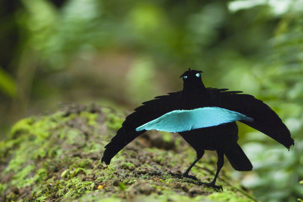 To see just the footage of the new Vogelkop Superb Bird-of-Paradise visit CLO YouTube.Footage by Tim Laman.