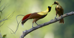 "The ""Jungles"" episode of the BBC's landmark series aired in the USA for the first time in March on BBC America.  Tim shot the Red and Wilson's Bird-of-Paradise for the BBC.  Tim's footage of the Red Bird-of-Paradise is featured in the trailer."