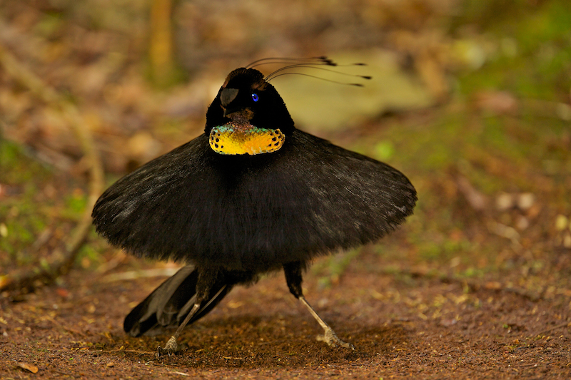 Western Parotia Bird-of-Paradise (Parotia sefilata).  Adult male at its display court, performing ballerina dance. Purchase an unsigned print.
