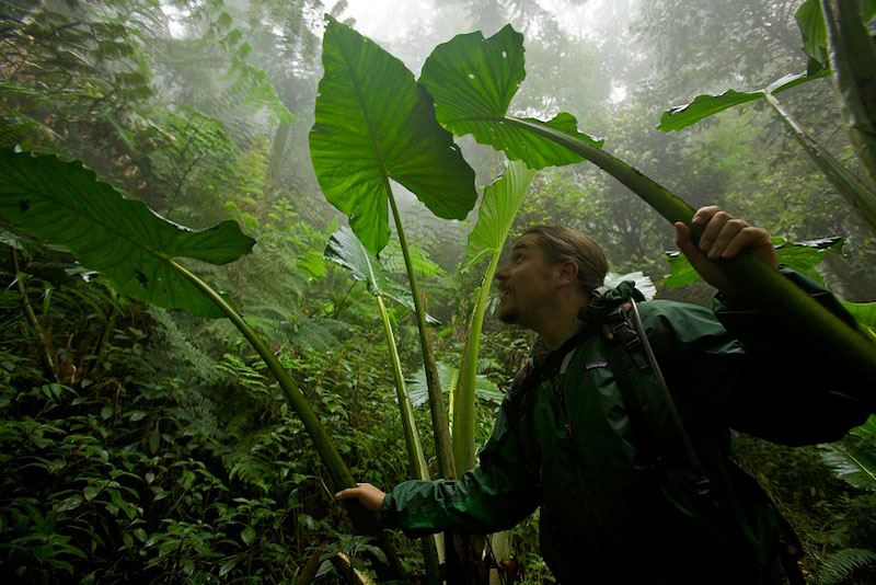 Ornithologist Edwin Scholes with giant Aroid plants in the montane rain forest at 2000m.