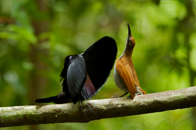 Magnificent Riflebird Bird of Paradise (Ptiloris magnificus) male displaying to female.Purchase an unsigned print.