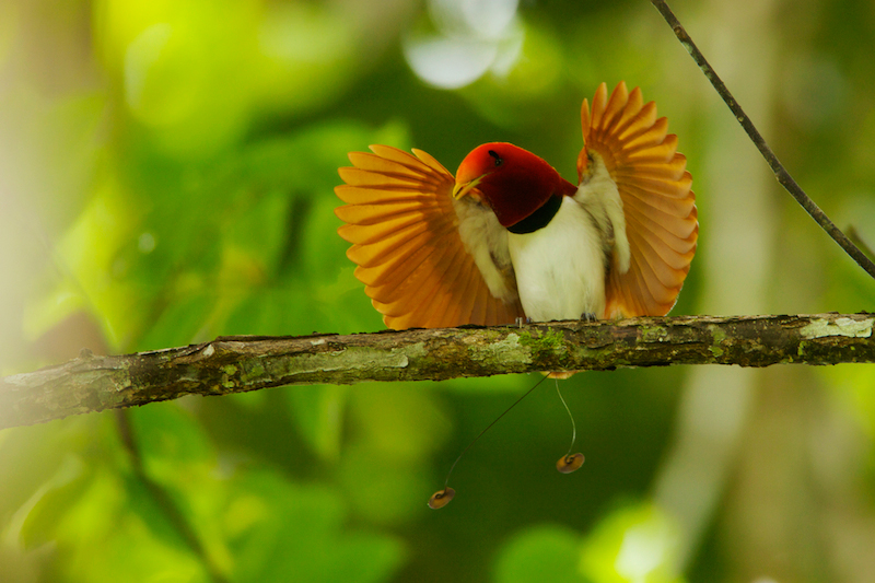 King Bird-of-Paradise (Cicinnurus regius) male performing open wings display.Purchase an unsigned print.