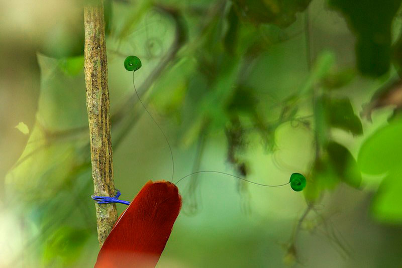 King Bird-of-Paradise (Cicinnurus regius) male.  Detail of green central tail feathers, red body, and blue feet.