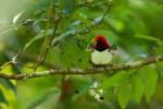 King Bird-of-Paradise