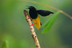 Twelve-wired Bird-of-Paradise (Seleucidis melanoleuca) on his display pole in the swamp rain foerst at Nimbokrang, Papau, Indonesia, Island of New Guinea.Purchase an unsigned print.