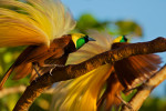 Greater Bird-of-Paradise (Paradisaea apoda). Adult male in static display.Purchase an unsigned print.